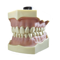 Typodont frasaco TIPO AG-3 Img: 201807031